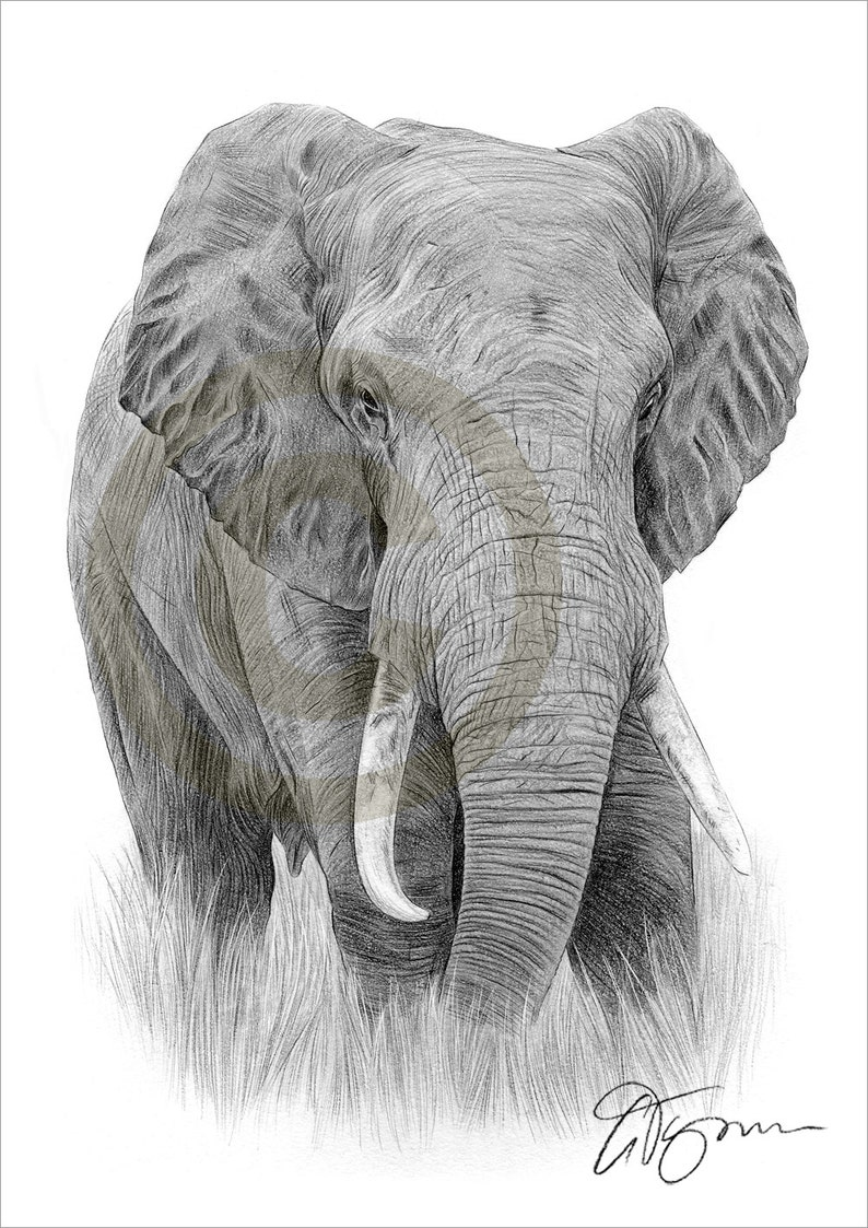 Elephant pencil drawing print elephant art artwork signed by artist gary tymon 2 sizes ltd ed 50 prints only pencil portrait