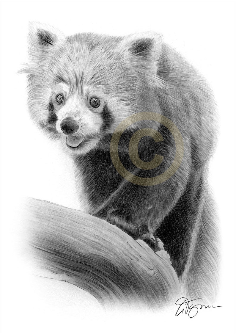 Red panda art pencil drawing print wildlife art artwork signed by artist gary tymon ltd ed 50 prints only 2 sizes pencil portrait