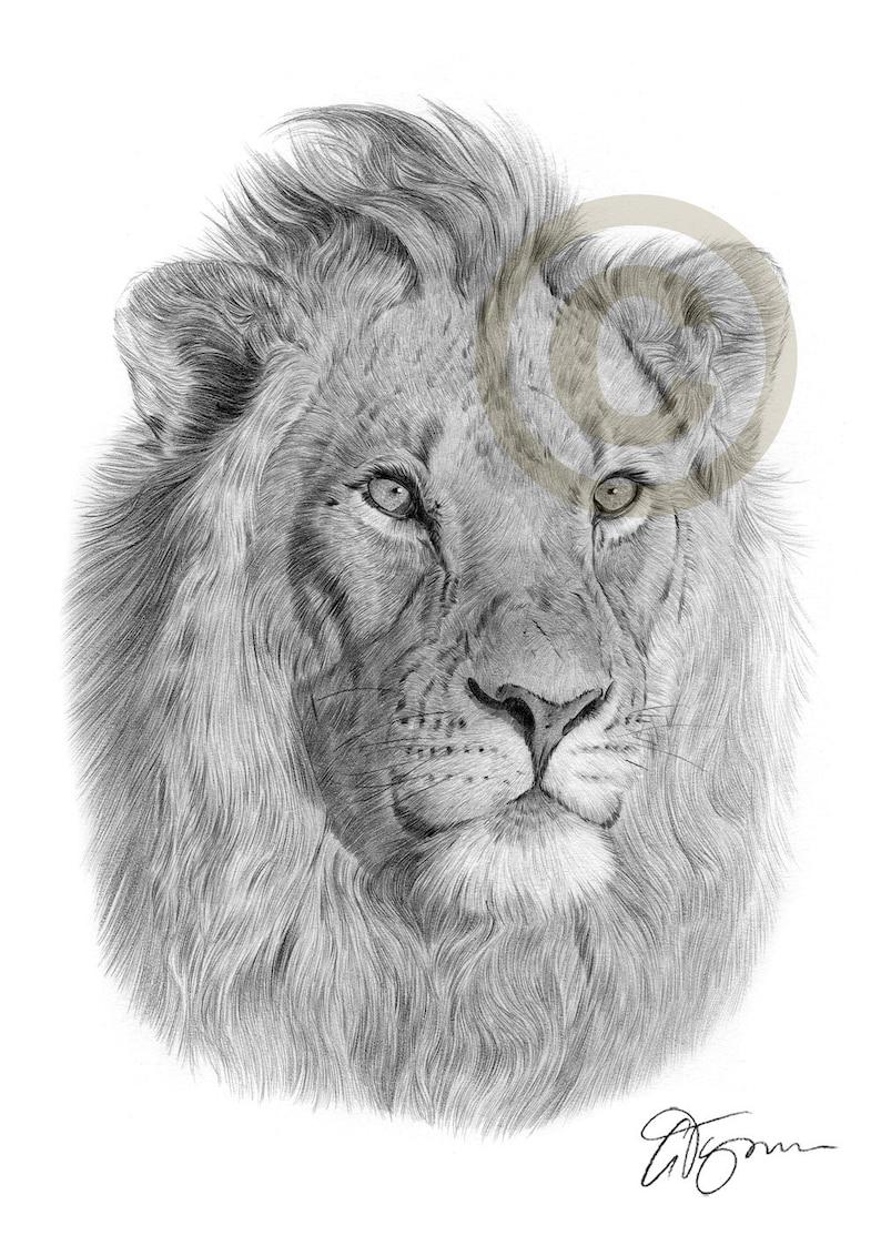 Lion artwork lion pencil drawing print big cat art artwork signed by artist gary tymon 2 sizes african wildlife pencil portrait