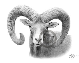 BIG HORN RAM pencil drawing print - wildlife art - artwork signed by artist Gary Tymon - Ltd Ed 50 prints only - 2 sizes - animal portrait
