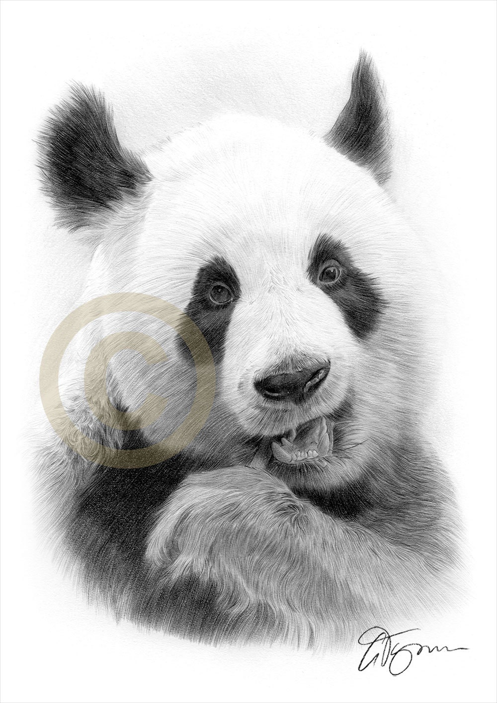 Giant panda art pencil drawing print wildlife artwork artwork signed by artist gary tymon ltd ed 2 sizes pencil portrait
