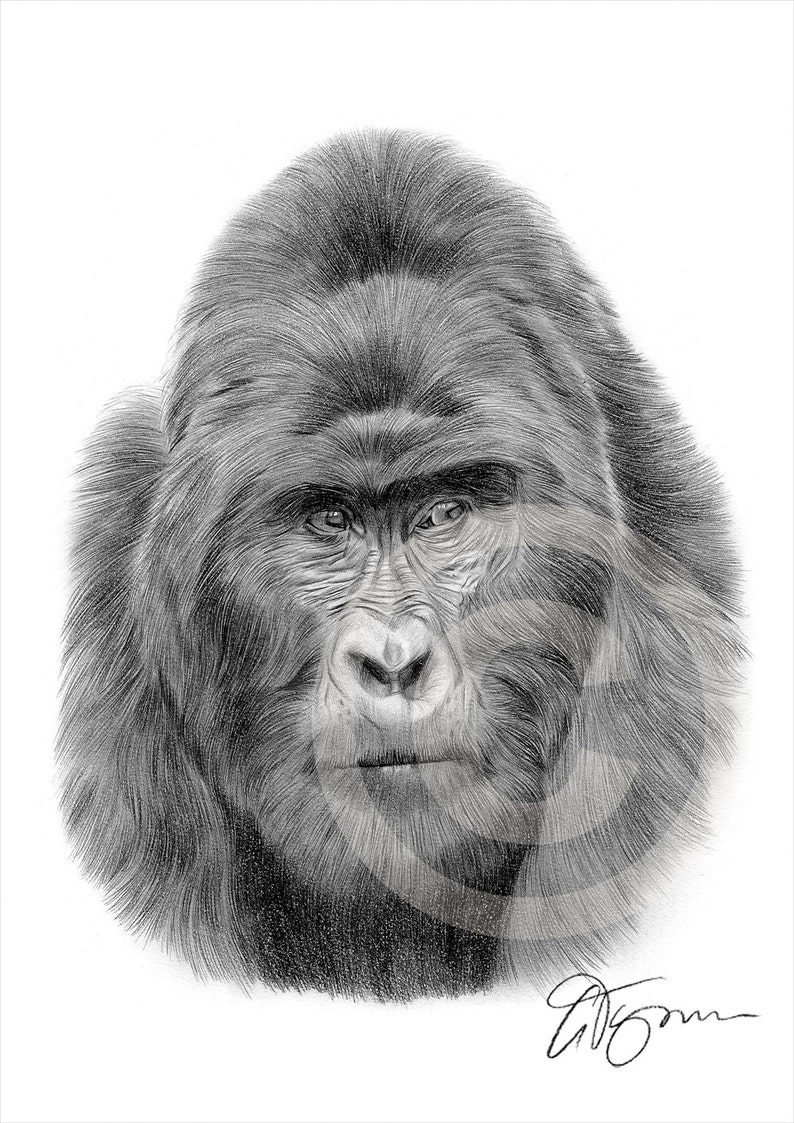 Mountain gorilla pencil drawing print wildlife art artwork signed by artist gary tymon 2 sizes ltd ed 50 prints pencil portrait