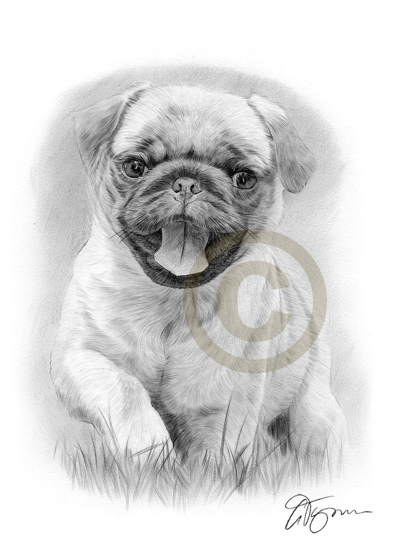 Pug Puppy running through grass - pencil drawing print - artwork signed by  artist Gary Tymon - 2 sizes - Ltd Ed 50 prints only - toy dog