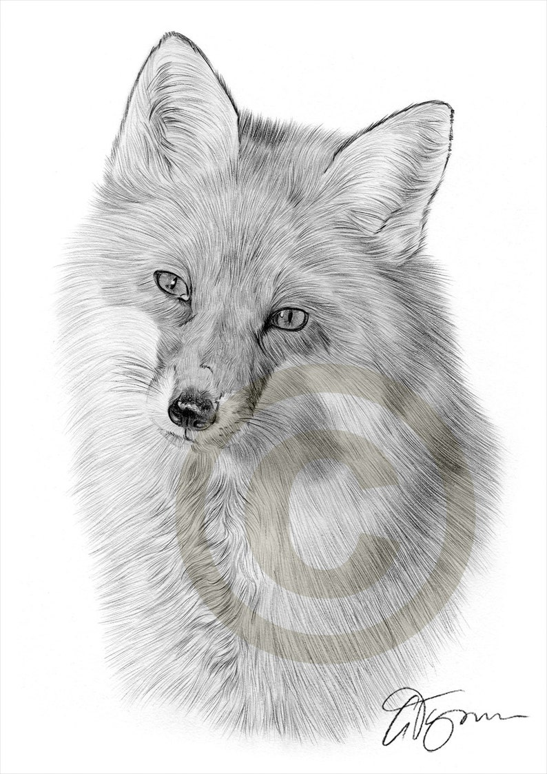 Red Fox Pencil Drawing Print Wildlife Art Artwork Signed Etsy