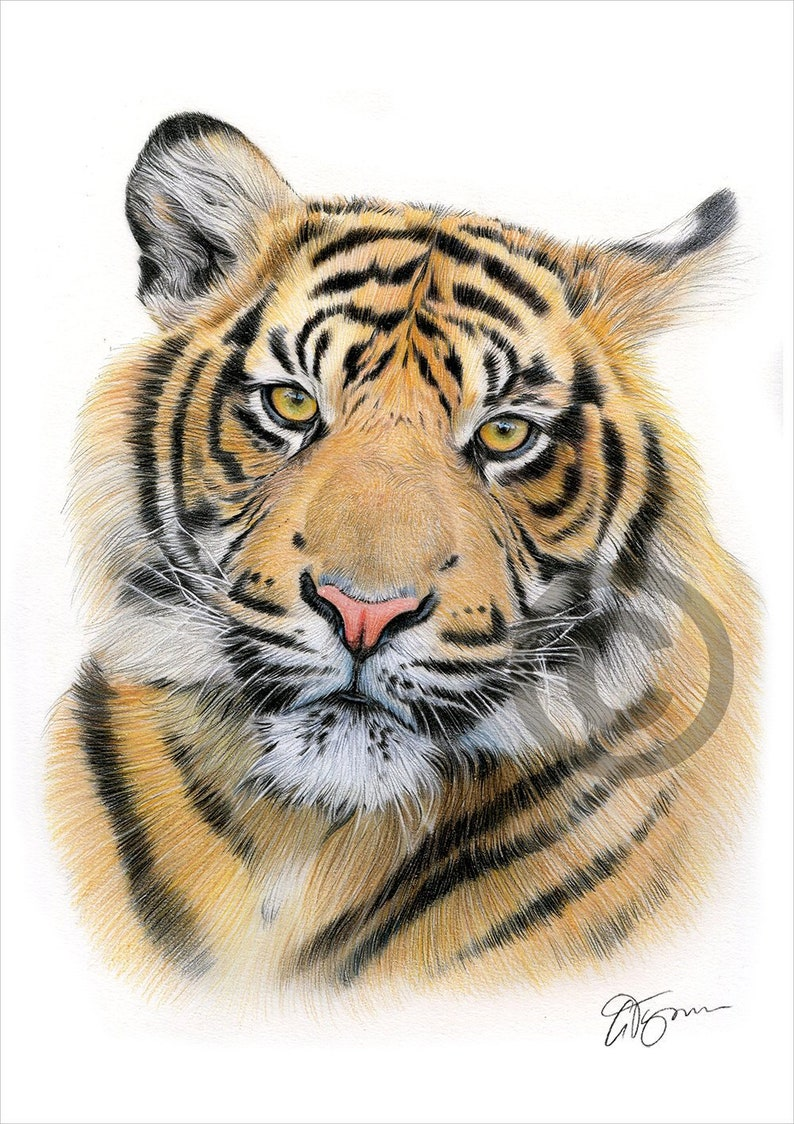 Sumatran tiger color pencil drawing print big cat art artwork signed by artist gary tymon 2 sizes 100 prints pencil portrait