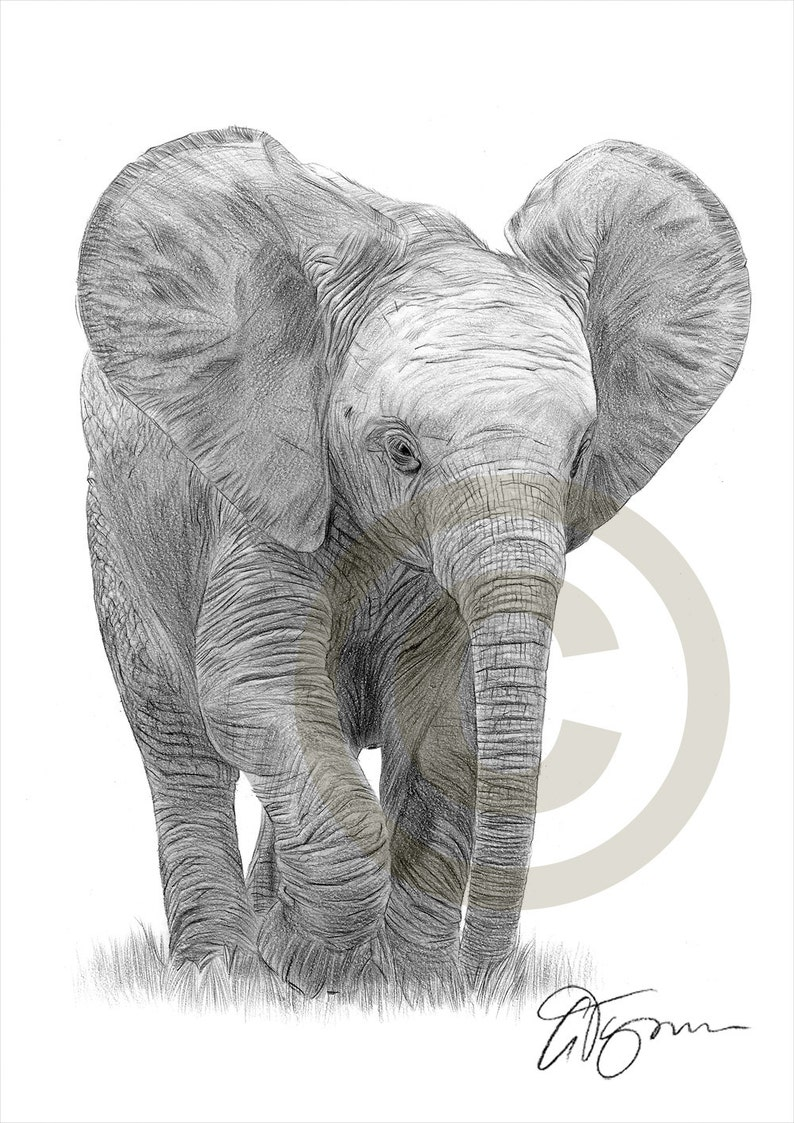 Baby elephant pencil drawing print elephant art artwork signed by artist gary tymon 2 sizes ltd ed 50 prints only pencil portrait