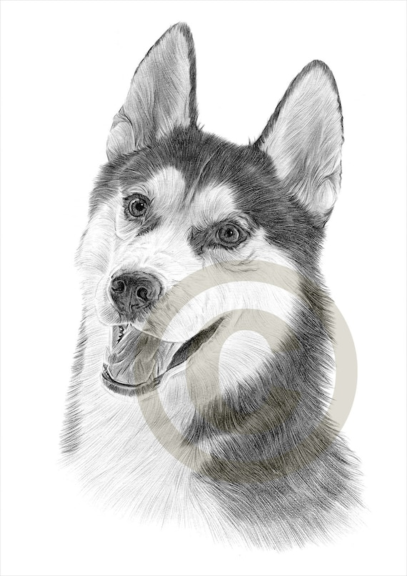 dog siberian husky pencil drawing print a4 size artwork etsy