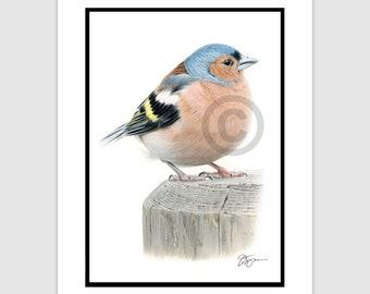 "CHAFFINCH Original Color Pencil Drawing - bird art - Portrait size 11.75"" x 8.25"" - Mount (matte) size 14"" x 11"" - Signed by artist"