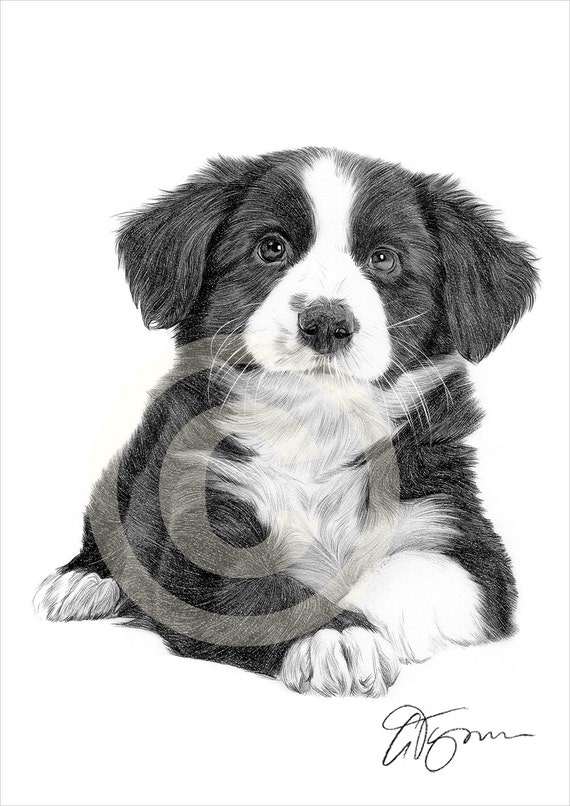 Border Collie Puppy Artwork Dog Pencil Drawing Print Art Etsy