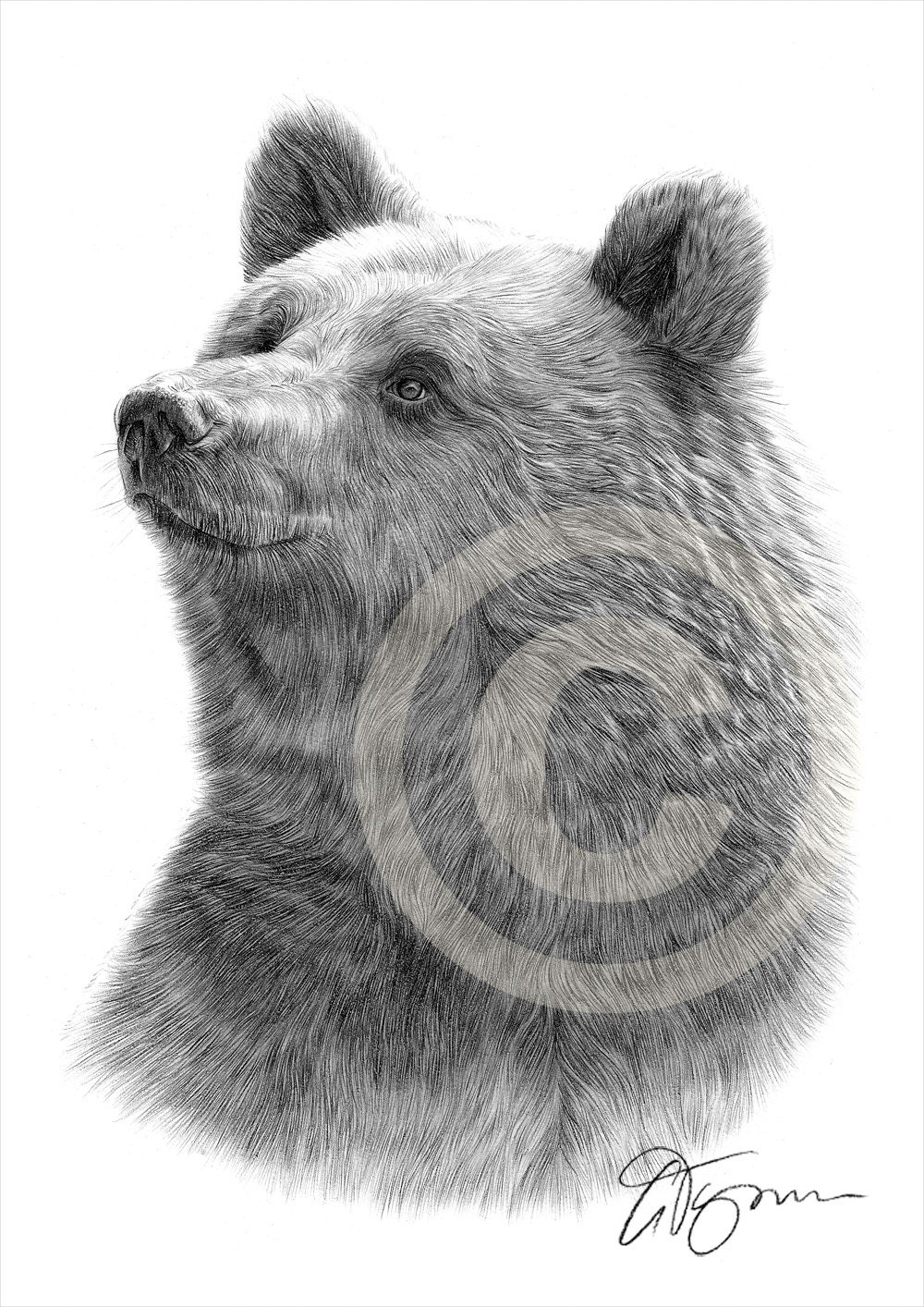 Ours grizzly dessin estampe art animal oeuvre sign e par - Dessin de grizzly ...