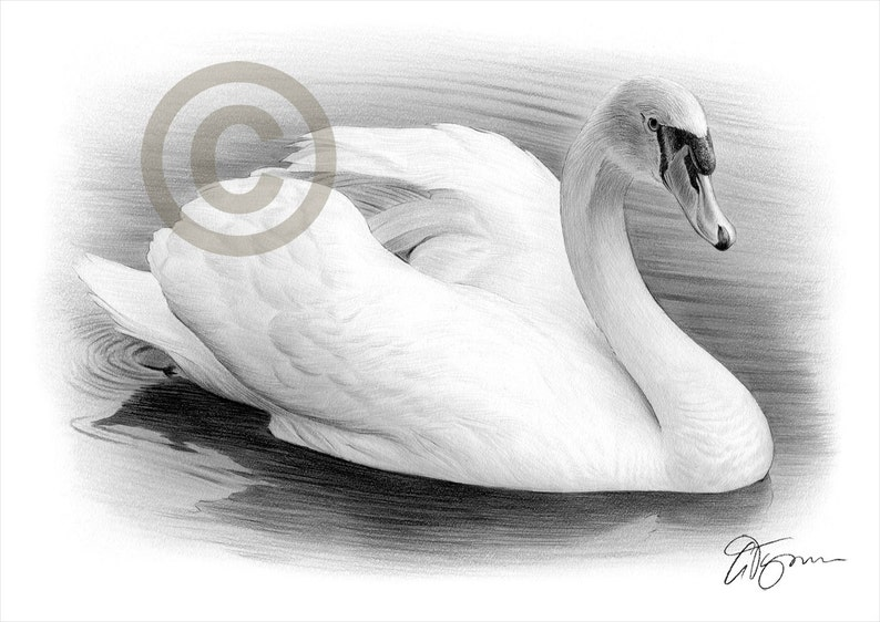 White Swan Bird Art Pencil Drawing Print Artwork Signed Etsy