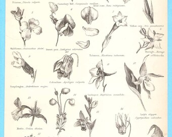 Antique Botany Illustration