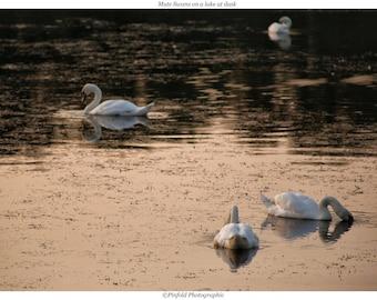 Photo print 'Mute Swans on a lake at dusk'