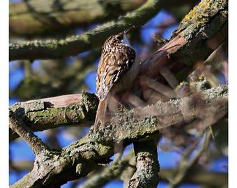 Photo print 'Tree Creeper'