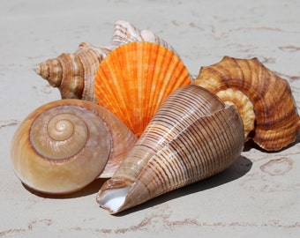 Orange Scallop Shell Grouping photo