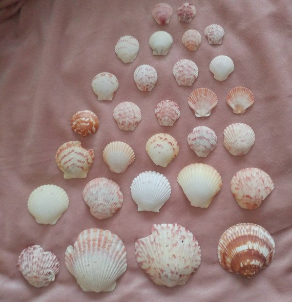 Assorted Scallop Shells // Various Sizes and Colors // Unique // 30 pieces // 4 oz // Craft Shells // Beach Decor // Terrarium // Jewelry //