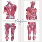 Watercolor Muscle Prints Set of 4   Anatomy art for Physical Therapists, Chiropractors, Massage Therapists
