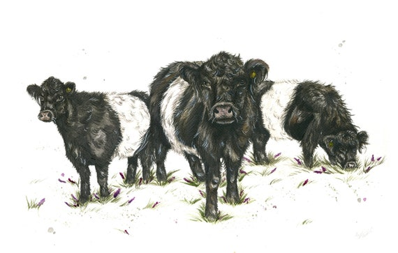 Belted Galloway cattle limited edition print