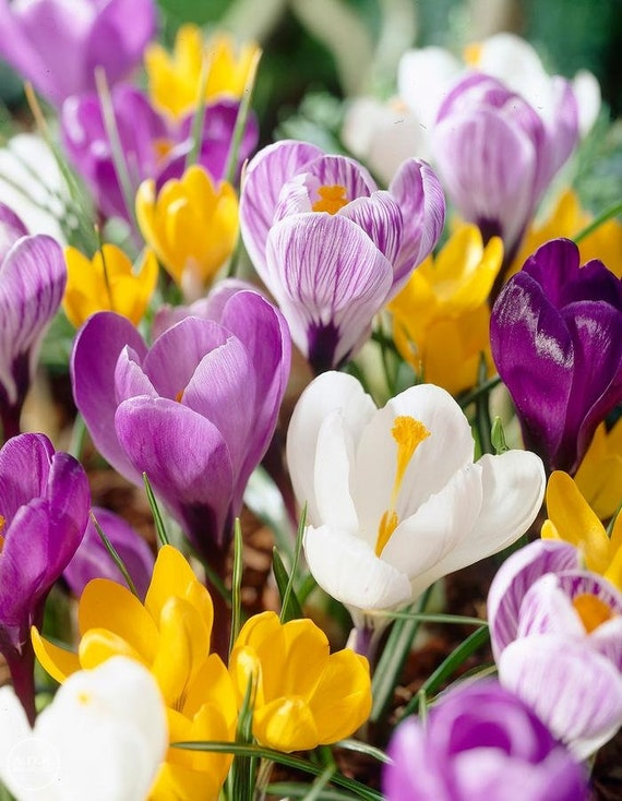 ed4e5666544073 Crocus vernus bulbsRAINBOW MIXTUREVery Early Spring Flowers