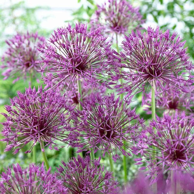 Allium Purple Rain Ornamental Onion Bulbs Tall Etsy