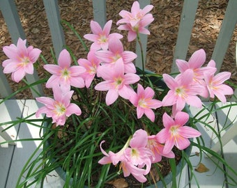 """Zephyranthes robustus """"Fairy Lily"""" Flower Bulbs Amaryllis Rain Lilies Easy to Grow Plants Garden or Container Glossy Foliage Summer Blooms"""