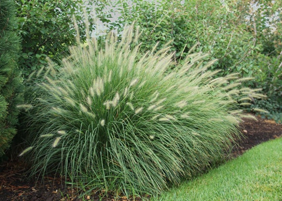 pennisetum alopecuroides  u0026 39 little bunny u0026 39  fountain grass