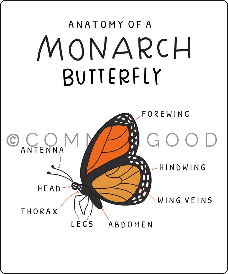 Monarch Anatomy sheet