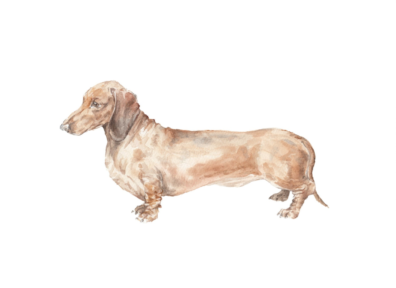 Perro salchicha marrón liso capa acuarela Doxie Limited | Etsy
