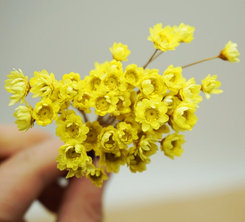 A small pack of dried flowers 50 pcs yellow Baby/'s breath 122-45 for Filler of the mini glass bottles,MINI Star daisy flowers