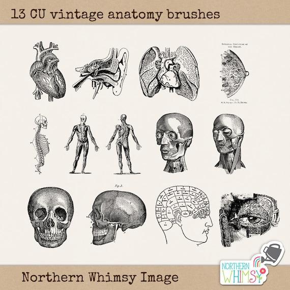 Anatomía Clip Art Set 13 imágenes PNG y pinceles de | Etsy