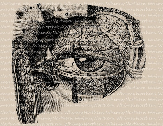 Eyeball Anatomy Vintage Clip Art Digital Image Printable Etsy