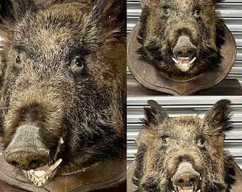 Large Circa 1900's French Wild Boar Taxidermy Mounted on an Oak Shield