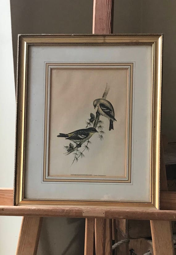 Gilt Framed Antique Print of Bindenkreuzschnabel Loxia Leucoptera Crossbill Birds