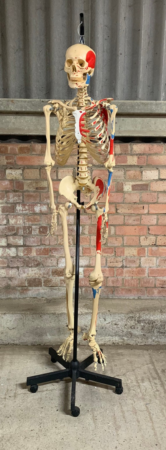 Quality Full Size Skeleton With Numbered Muscles and Moving Joints and Ligaments
