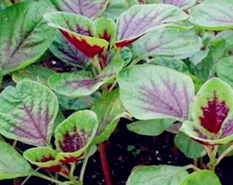 Edible Amaranth Seeds Red Stripe Leaf 紅莧菜 USA 3000 new seed in year 2020