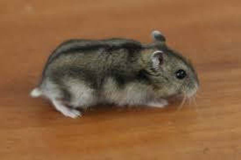 Hamster harige