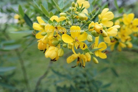 10 seeds sickle pod wild sensitive plant seeds small evergreen bright yellow flowers container tropical cassia tora overstock price image 0 mightylinksfo