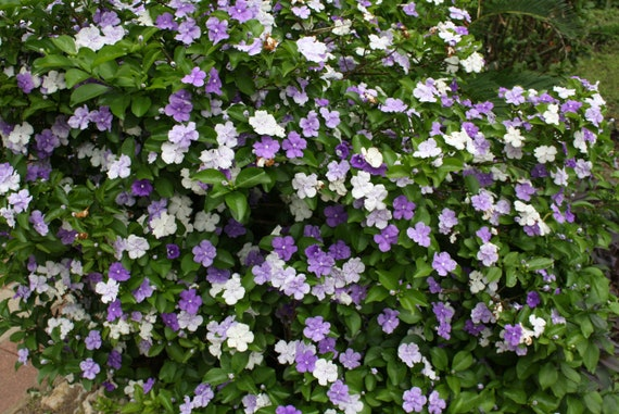 5 Seeds Brunfelsia Pauciflora Floribunda Yesterday Today Etsy