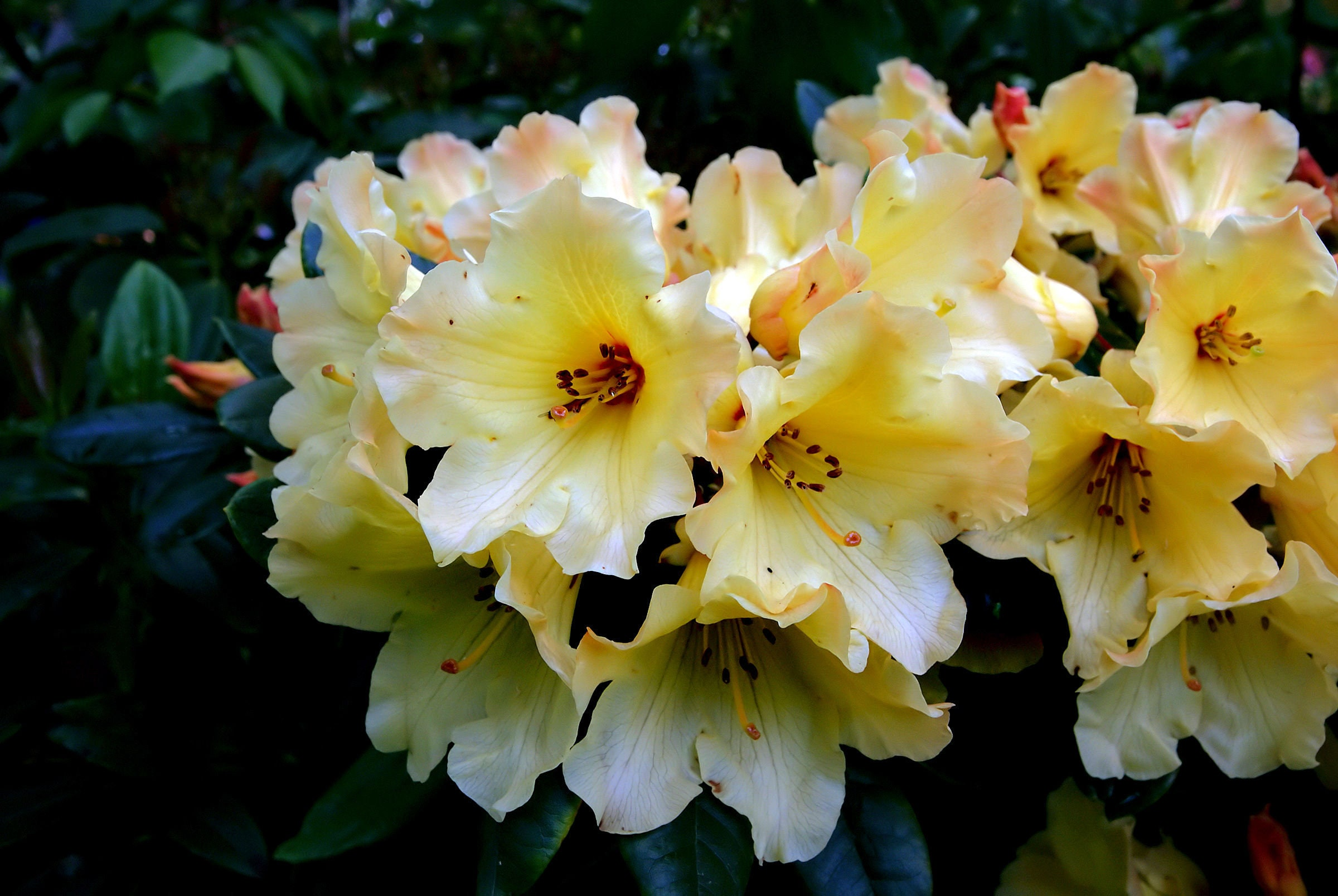 10 Seeds Rhododendron Campylocarpum Lots Of Yellow Flowers Etsy