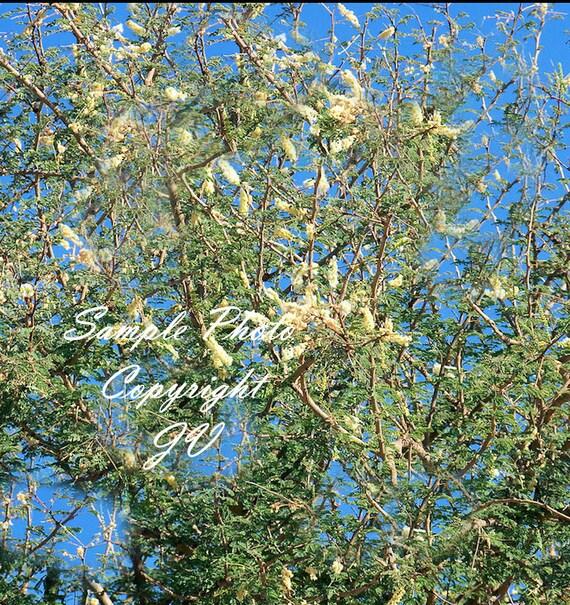 5 seeds acacia gum rare white flowers valued tropical tree etsy image 0 mightylinksfo