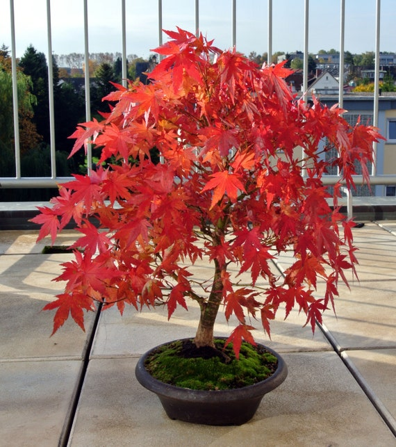 5 Seeds Red Japanese Maple Acer Palmatum Bonsai Tree Seeds Etsy