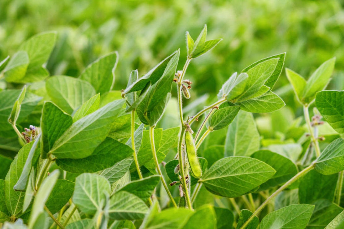 100 Seeds Laredo SoyBean seed! Non GMO Forage for Wildlife or Cover Crop  Nitrogen Fixer Overstock Price