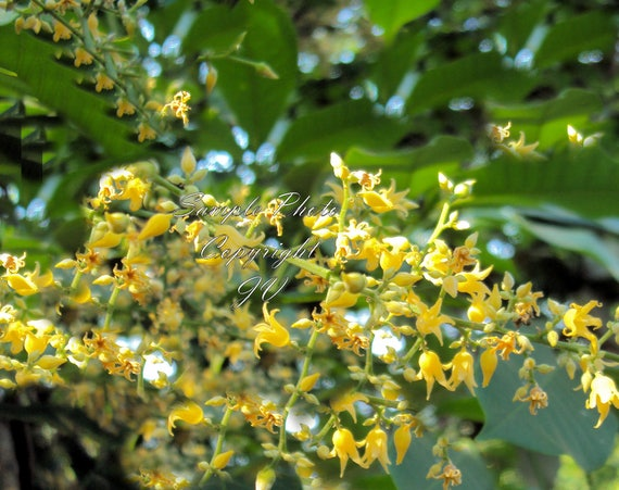 3 seeds para rubber tree yellow flowers tropical gardens etsy image 0 mightylinksfo