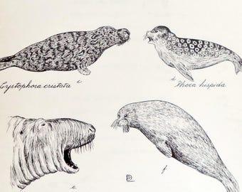 Original Duchesnay 1961 Drawing Seals Phoca Varieties Seal Ink Print Lithograph Quebec Wildlife Artnimal, Seal,  Drawing Print, Wall Art