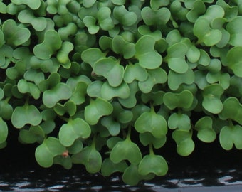10,000+ Microgreens Seeds- Broccoli Raab- No Chemicals Used! Non-GMO
