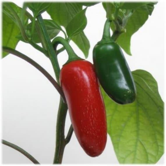 Yellow Pepper Seeds Corno di Toro Giallo 2020 Seeds 75