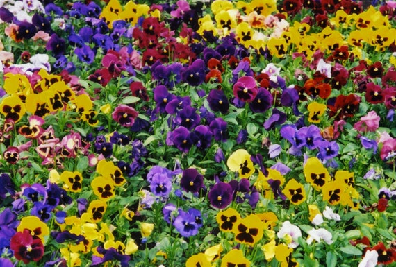 Swiss Giants Mixed Pansy 200 Seeds