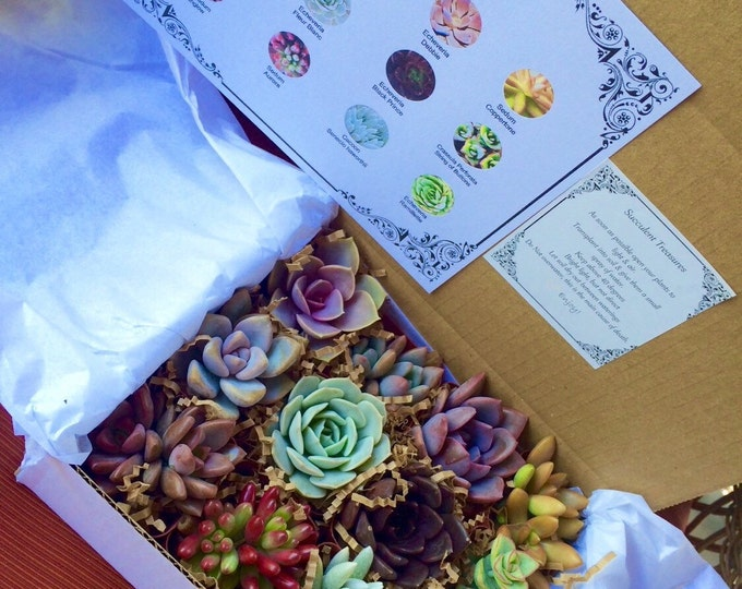 Succulent Treasures Candy Box.  The Original Etsy Box A Dozen Assorted Premium succulents gift box.