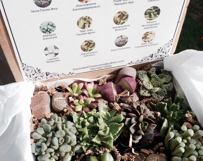 Succulent Gift Box Mimicry Set A Dozen Assorted Lithop rocks & more.