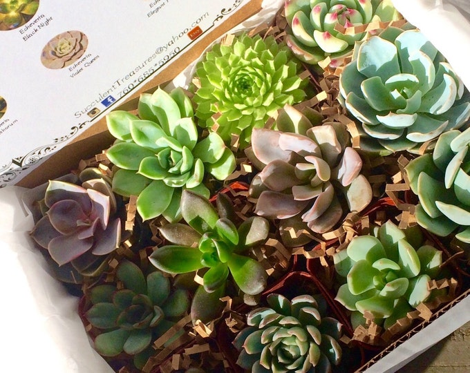 Succulent Treasures Candy Box. A Dozen Assorted Premium succulents gift box.